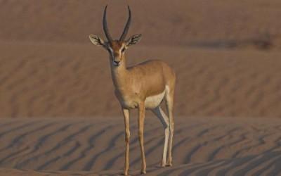 Rando à cheval désert Emirats Arabes unis- Abu DHABI Desert Ride