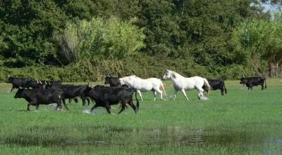 camargue a cheval